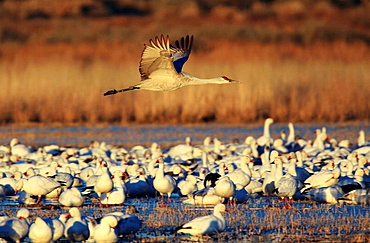 Sandhill crane, Grus canadensis, Kanadakranich, in flight, one flying over flock of Snow Geese at sunset, winter quarters, Bosque del Apache National Wildlife Refuge, New Mexico, USA