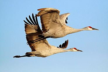 Sandhill crane, Grus canadensis, Kanadakranich, two flying, in flight, winter quarters, Bosque del Apache National Wildlife Refuge, New Mexico, USA