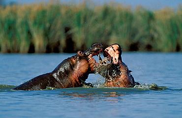 Hippopotamus (Hippopotamus amphibius), males fighting, KwaZulu-Natal, South Africa