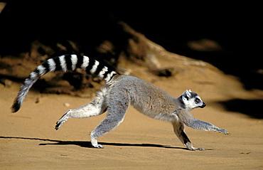 Ringtailed Lemur (Lemur catta), running, Berenty Private Reserve, Madagascar