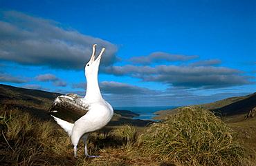 Royal Albatross (Diomedea epomophora), courtship behavior, Campbell island, New Zealand
