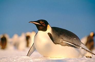 Emperor Penguin (Aptenodytes forsteri) toboganning, Princess Martha coast, Weddell Sea, Antarctica