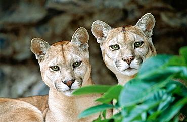 Puma (Felis concolor) found in Amazon rainforest, captive in Banos de Agua Santa zoo, Ecuador