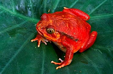 Tomato Frog (Dyscophus antongilii), Madagascar