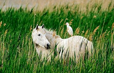 Horse (Equus caballus) and Cattle Egret (Ardeola ibis), Camargue, France