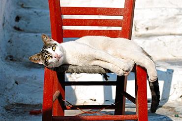 Cat (Felis catus), Greece