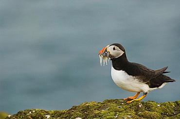 Puffin (Fratercula arctica) coming back to the undergound nests with some eels and other fish in beak to feed chicks, Fair isle, Shetland, UK