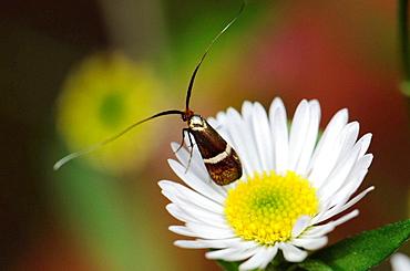 Long antennae moth on a garden daisy, Spain