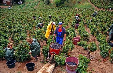 Vintage, Beaujolais region, Burgundy, France