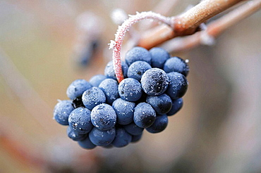 Rioja wine grape, Rioja wine regionRacimo de uva tinta, La Rioja