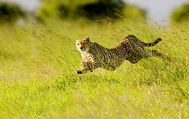 Cheetah chases Thomson Gazelle in the Masai Mara