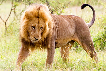 Male Lion in the Mara, Kenya
