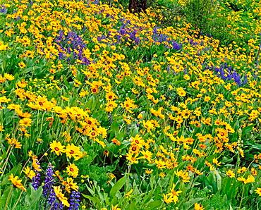 Balsalmroot and lupine meadows, Eashington, USA