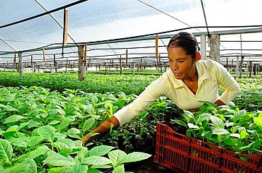 Teak trees nursery, Darien province, Repof Panama, Central America, 2006