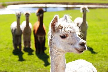 Smiling alpaca (lama pacos) posing as if it were the leader of the pack, Krystal Acres Alpaca Farm on San Juan Island, Washington, USA