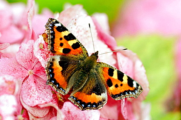 Small tortoiseshell butterfly (Aglais urticae) on hydrangea flower, England UK