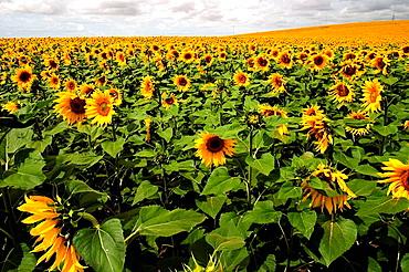 Sunflowers (Helianthus annuus) field near Jerez de la Frontera, Cadiz province, Andalucia, Spain