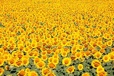 Field of sunflowers in summer, Camallera, Alt Emporda, Girona province, , Spain