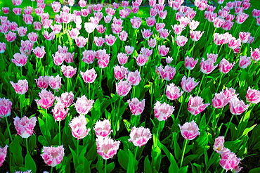 Tulips in Keukenhof flower garden in Lisse, Netherlands