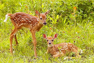 White-tailed Deer (Odocoileus virginianus), Minnesota, USA