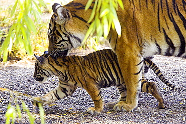 Sumatran Tiger (Panthera tigris sumatrae), Captive, adult mother with cub, Germany