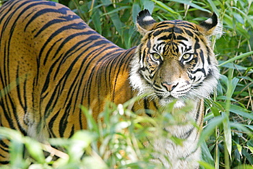 Sumatran Tiger (Panthera tigris sumatrae), Captive, adult mother, Germany