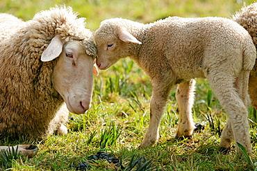 Merino Sheep, lamb.