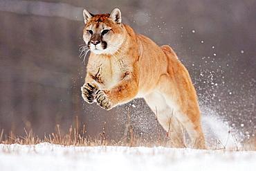Mountain Lion (Felis concolor), Minnesota, USA