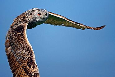 Eurasian eagle owl (Bubo bubo sibiricus), Captive, Germany, flying