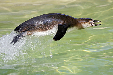 Spheniscus humboldti, captive, Germany, Humboldt-Penguin, swimming jumping out the water, Habitat South-America coast