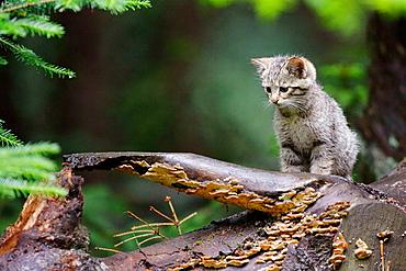 Felis silvestris, Common Wild Cat, Germany, captive, kitten, sitting on a log.