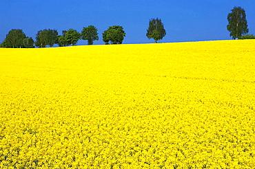 Rape (Brassica napus) field, Bretten, Baden-Wurttemberg, Germany
