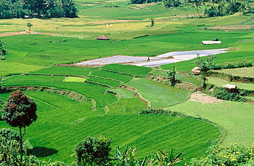 Rice, Harau valley, Minangkabau area, Sumatra, Indonesia.