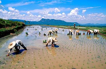 Rice field, Minangkabau area, Sumatra, Indonesia.