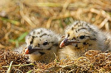 Herring Gull Larus argentatus  Scotland  UK