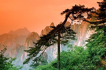 Pinie, Sunrise, Huangshan, China.