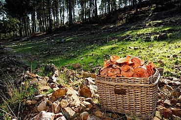 Saffron Milk-cap (Lactarius deliciosus), Sierra Madrona, Ciudad Real, Spain.