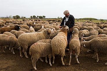 Pastor de ovejas merinas dando de comer a los mansos  Astorga  Leon  Castilla y Leon  Espana