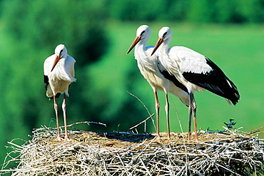 Young White Storks (Ciconia ciconia) in the nest - three months old