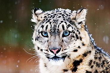 Snow Leopard or Irbis (Uncia uncia) in winter at snowfall