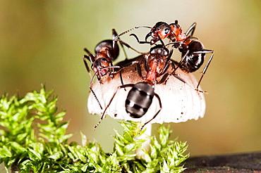 Red Ants (Formica rufa) on Bonnet Mycena (Mycena galericulata)
