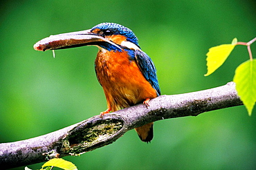 Kingfisher Alcedo atthis with fish for its fledglings - Franconia, Bavaria / Germany