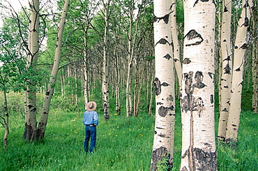 A lone hiker pauses near aspen trees on Alice Creek Road, wich leads to Lewis and Clark Pass in central Montana, USA.