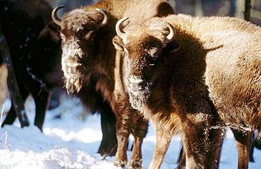 Two bisons (Bison bonasus), standing in the primeval forest of Bialowieza, Winter, National Park of Bialowieza, Poland.