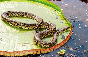 Victoria water lily (Victoria regia) and anaconda (Eunectes murinus), Water pond near Porto Joffre, Mato Grosso, Brazil.