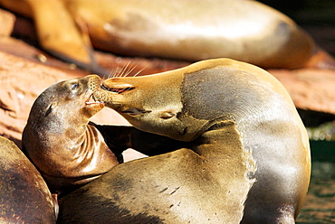 California sea lion (Zalophus californianus), mother with cub, snout contact, geste of tenderness, Zoo of Nuremberg, Germany