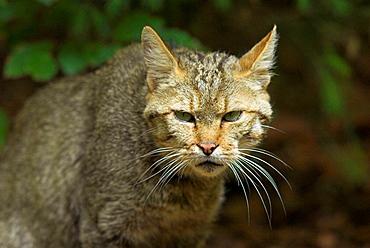 Wild cat (Felis sylvestris), portrait of adult animal, attentiveness National Park of Bavarian Forest, Germany