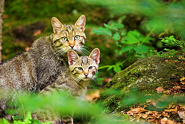 Wild cat (Felis sylvestris), mother and cub, attentiveness National Park of Bavarian Forest, Germany