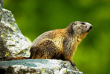 Marmot (Marmota marmota), sitting for outlook on granite rocks, spring in the mountains, National Park des Ecrins, French Alps, Haute Dauphine, France