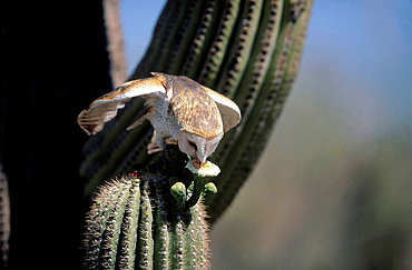 Barn Owl (Tyto alba), sitting on Saguaro cactus and drinking from cactus flower, behavioural adaption on semidesertic conditions, Saguaro National Park, cactus desert, Arizona, USA